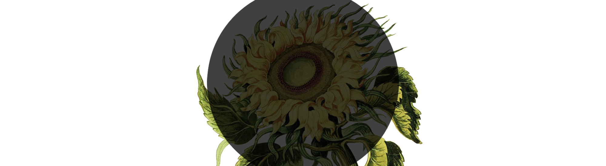 Незнайомий соняшник